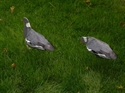 Picture for category Pigeons