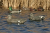 Picture of Lifesize Gadwall Duck Decoys by Greenhead Gear GHG Avery Outdoors