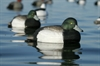 Picture of **SALE** OverSize Bluebill Duck Decoys (AV73039) by Avery Greenhead Gear GHG