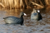 Picture of **FREE SHIPPING** Over-Sized Coot Duck Decoys (AV73014) by Greenhead Gear GHG Avery Outdoors
