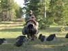Picture of Sillosocks Turkey Decoys