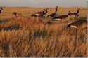 Picture of Killerweed - Grain  - AV47405