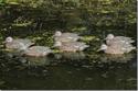 Picture of Green-winged Teal Early Season Hen 6pk - AV72122