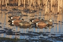 Picture of Un-Rigged Blue Wing Teal 6pk - AV73125