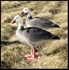 Picture of Single Bigfoot Blue Goose Decoy - Lawn Ornament
