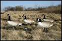 Picture of BF111487 Upright Standard Canada Goose 4 Pack Decoys