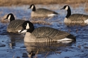 Picture of Honker Floaters - Rester 4pk