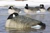 Picture of **SALE** Honker Floater SLEEPER 4 Pack (AV71074) by Greenhead Gear GHG Avery Outdoors