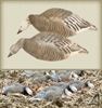 Picture of **SALE** BLUE GOOSE FEEDER SHELLS 12 PACK (474198) by Final Approach