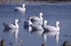 Picture of *FREE SHIPPING* Snow Goose Floater Decoys by Greenhead Gear GHG