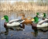 Picture of **FREE SHIPPING** Flocked Head Mallard Floater Duck Decoys (DAK12120) by Dakota Decoys