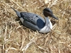 Picture of Super Magnum Pintail SHELLS Duck Decoys - 6 Drakes (P1SMDM) by G&H Decoys