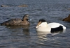 Picture of **FREE SHIPPING**  Commercial Grade Eider Sea Duck Decoys (AV74028) by Greenhead Gear GHG Avery Outdoors