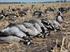 Picture of  **SALE** Painted Canada Honker Goose Decoys - SENTRY 4pk (DAK12010) by Dakota Decoys