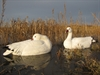Picture of Snow Sleeper Floating Goose Decoys (DAK12180) 6pk by Dakota Decoys