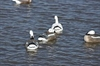 Picture of Blue Sleeper Floating Goose Decoys (DAK12170) 6pk by Dakota Decoys