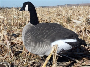 Picture of **SALE** XFD Flocked Canada Honker Goose Decoys - Active 4pk (DAK12800) by Dakota Decoys