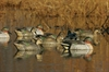 Picture of **BLOWOUT SALE** Green Winged TEAL DUCK DECOYS 6pk (FA474315) by Final Approach Decoys