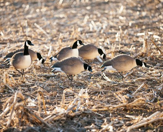 Canada Goose womens online store - Prairiewind Decoys. Fully Flocked Lesser Canada Goose Decoys ...