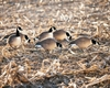 Picture of Fully Flocked Lesser Canada Goose Decoys Starter 6pack (FA474176) By Final Approach Decoys FA Brand