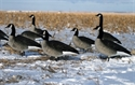 Picture for category Full Body Canada Goose Decoys