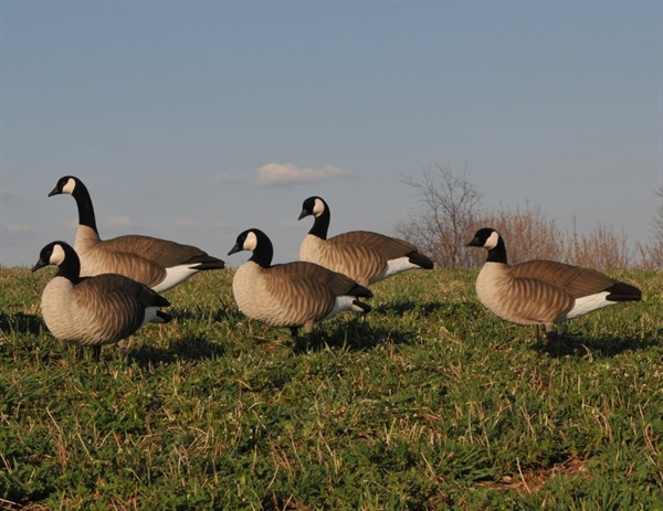 Cheap Canada Goose Decoys For Sale