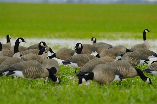 final approach full-body lesser Canada Goose' decoys