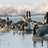 Picture of **FREE SHIPPING** Honker Floater Canada Goose Decoys - RESTER 4pk (AV71075) by Greenhead Gear GHG Avery Outdoors