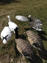 Picture for category KnockDown Decoys