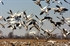 Picture of Snow Goose Silhouette Decoys by Big Als Decoys