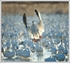 Picture of ***FREE SHIPPING***Snows On The Prairie 8.1 Snow Goose E-Caller CD by Prairiewind Decoys