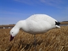 Picture of **FREE SHIPPING**Express Foam Fullbody Snow Goose Decoys 1 dz. by Final Approach
