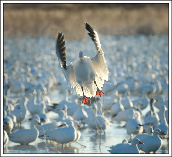 Prairiewind Decoys Free Shipping Snows Down Low Snow