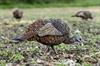 Picture of **SALE** LCD Feeder Turkey Hen Decoy by Avian-X Decoys