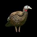 Picture of Breeder Hen Turkey - AVX8008