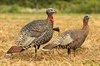 Picture of **FREE SHIPPING** Rio Grande Turkey Lookout/Jake Combo 2pk by Avian-X Decoys