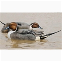 Picture for category Floating Pintail Decoys