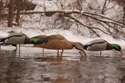 Picture for category Mallard Shell Decoys
