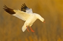 Picture for category SNOW GOOSE SALE