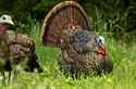 Picture for category Turkey Decoys