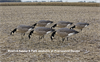 Picture of AXF FLOCKED FEEDER Lesser Canada Goose Decoys w/6-slot bag (Z9031) by Avian X Decoys Zink Calls