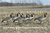 Picture of **SALE*** AXP Painted Honker Walkers Canada Goose Decoys by Avian X Decoys
