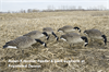 Picture of AXF Flocked Honker Feeder Goose Decoys by Avian X Decoys