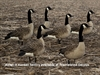 Picture of AXF FLOCKED Sentry Canada Goose Decoys by Avian-X Decoys