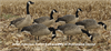 Picture of AXP Fusion Honker 6 Pack - Painted Canada Goose Decoys by Avian X Decoys