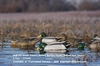 Picture of **FREE SHIPPING** Pro-Grade January Mallard Surface Feeder Duck Decoys  6pk (AV73163) by Greenhead Gear GHG Avery Outdoors