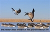 Picture of  **SALE**  GHG Honker Shell Decoys - SLEEPER 12pk by Greenhead Gear GHG Avery Outdoors