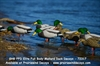 Picture of  **SALE** FFD Elite Full Body Mallard Harvester 6 pack  (AV72317) by Greenhead Gear GHG Avery Outdoors