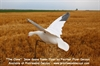 Picture of  **SALE** Generation I Snow Goose Clone by Clone Decoys