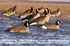 Picture of **FREE SHIPPING** FFD Elite Fully Flocked Canada Goose Honker Floater HARVESTER  6 Pack(AV71094) by Greenhead Gear